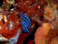 LUCA PUCCI - coppia nudibranchi